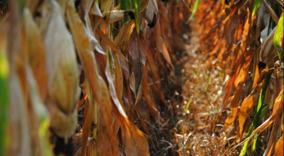 Норми висіву кукурудзи фото 4 Universeed