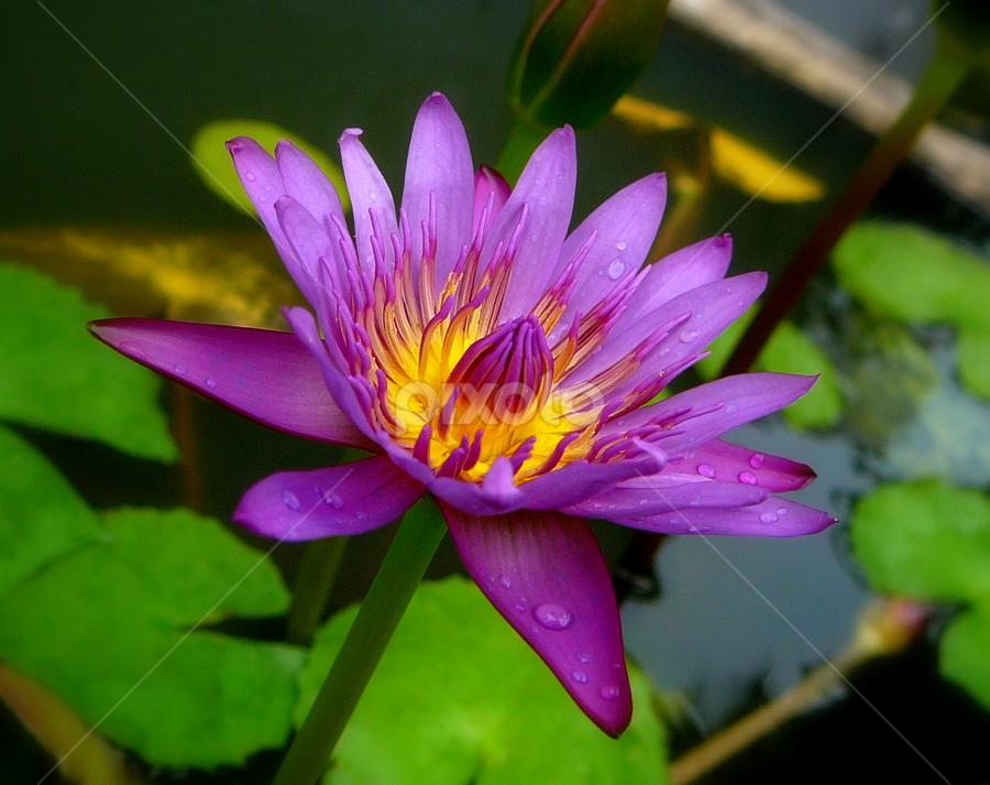 Lotus by Hariesdesign . - Nature Up Close Flowers - 2011-2013 ( lotus, macro, details, nikon, flowers )