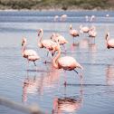 Flamingo rojo