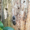 Eastern-Eyed Click Beetle