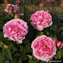 Photo: Historische Rose Madame Boll, Züchter: Boll 1859