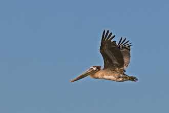 Photo: Brown pelican