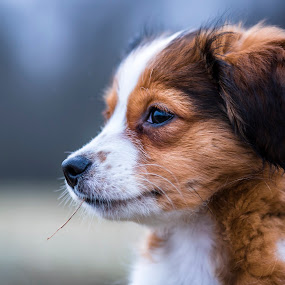 Tosca by Colin Harley - Animals - Dogs Portraits ( orange, red, tosca, d750, pup, nikkor, puppy, cute, nikon, dog, kooiker, kooikerhondje, animal )