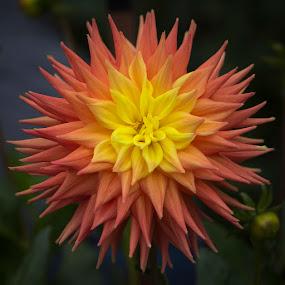 Orange Dahlia by Janet Marsh - Flowers Single Flower ( dahlias, orange and yellow,  )