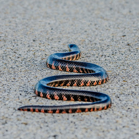 slither by David Ubach - Animals Reptiles ( orange, snake, road )