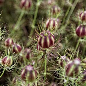 LH seedhead 09 OA.jpg