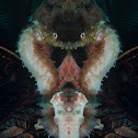Barbour's seahorse