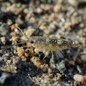 Western sea roach