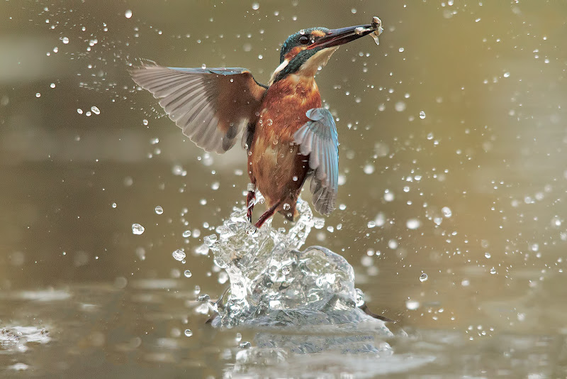 Kingfisher di Jordan