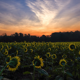 Sunflower sunrise by Valerie Dyer - Landscapes Prairies, Meadows & Fields ( flowers )