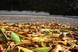 Photo: Leaves foliage deadfall Santa Barbara USA