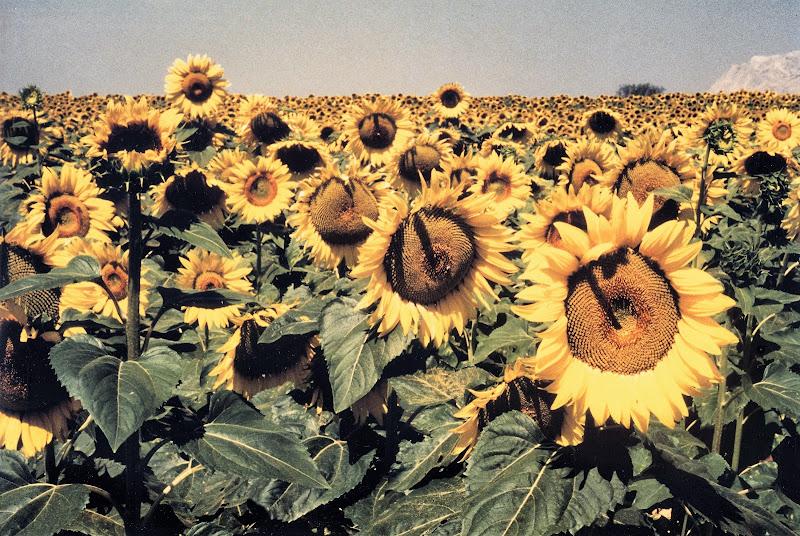 Girasoli - Vincent van Gogh di Elisabetta Castellano