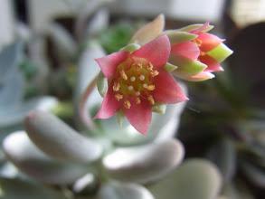 Photo: 月美人の花
