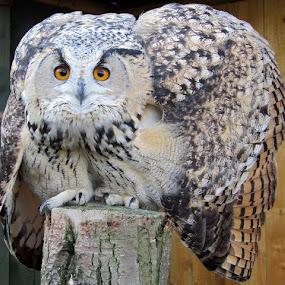 Kara by Welsh Hawk - Animals Birds (  )