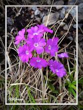 Photo: Primevère hirsute, Primula hirsuta