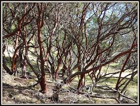 Photo: Manzanita near Harbin Springs CA