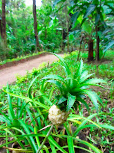 Photo: White Baby Pineapple that you can only find in Sri Lanka. (Habarana)