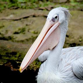 Pelican  by Kai Jian - Animals Birds