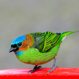 SAIRA MILITAR by Itamar Campos - Animals Birds ( bird, atlantic forest, saira, militar, morretes )