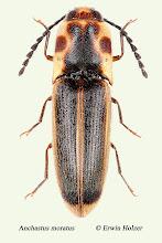 Photo: Anchastus moratus, 8 mm, Costa Rica, Playa Zancudo (08°21´/-83°08´), leg. & det. Erwin Holzer