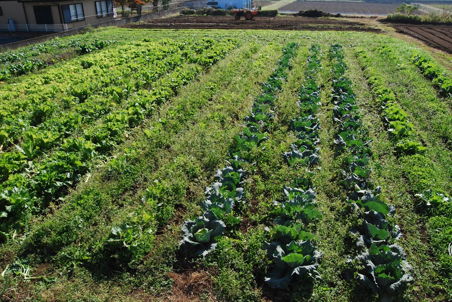 右から、白菜(苗)3列、キャベツ(苗)3列、白菜(直播)2列、タケノコ白菜(直播)3列、山東菜(直播)3列