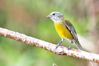 Photo: Jamaican Spindalis