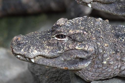 Alligators Wallpaper Images