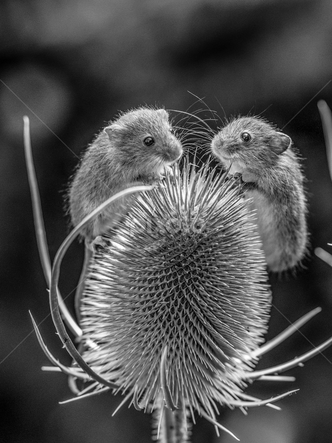 Mice by Garry Chisholm - Black & White Animals ( mouse, nature, mammal, rodent, mice, garry chisholm )