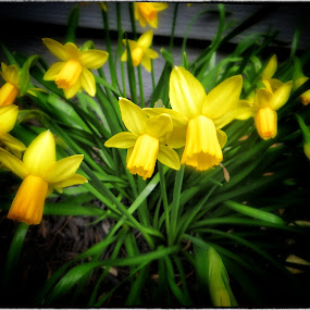 Spring Daffodils 1 by Sue Green - Nature Up Close Flowers - 2011-2013 ( plants, trees, flowers )