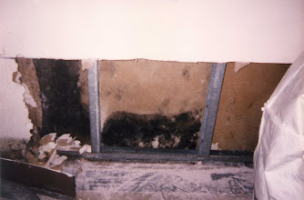 Photo: Stachybotrys Chartrum growing in the interstitial space between sheet rock and the studs.  FED designed and monitored the remediation protocols used to clean-up the mold in these apartments.