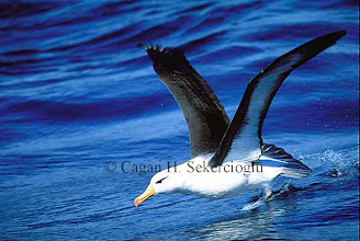 Photo: Black-browed albatross. Off Cape Town, South Africa.