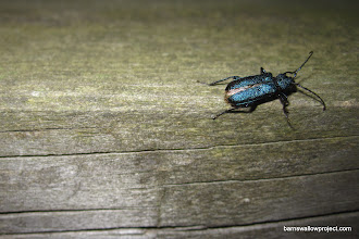 Photo: A cool beetle I found on our picnic table