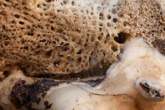 Photo: Detail of tooth wear and gum in old gsable skull Detalhe de dente gasto e gengiva em velho crânio de palanca