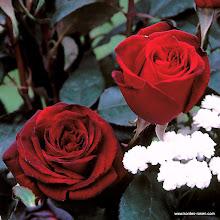 Photo: Edelrose Barkarole®, Züchter: Rosen-Tantau 1987