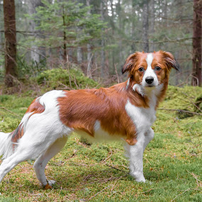 I got style by Colin Harley - Animals - Dogs Portraits ( wood, green, moss, nikkor, forest, kooiker, woods, canine, red, d750, trees, dog, nikon, kooikerhondje, animal )