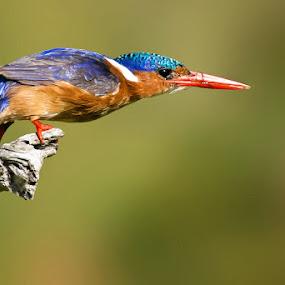 Take Off by Robbie Aspeling - Animals Birds ( bird, fly, avian, kingfisher, malachite,  )