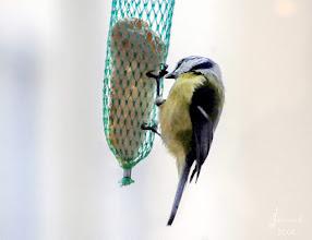 Photo: Es gibt immer weniger Meisen und andere Singvögel in Mitteleuropa.