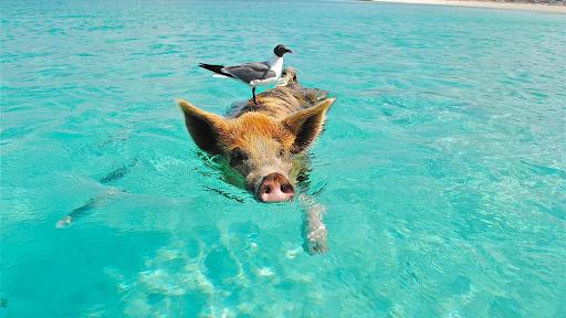 Swimming. Happy pigs