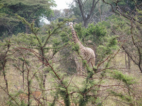 Photo: Giraffes!