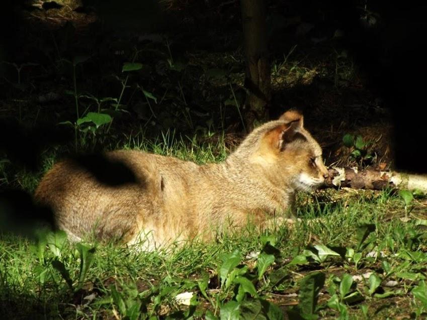 Chat des marais, Parc des Félins - Tous droits réservés