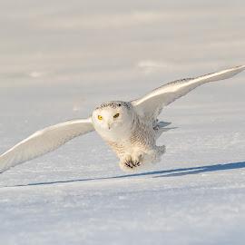 harfang 2018-02-02-6 by Jocelyn Rastel-Lafond - Animals Birds ( oiseau, bird, flying, winter, chouette, snow, wite, wildlife, harfang, snowy owl, birds, animal )
