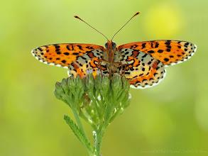 Photo: Melitaea Didyma, Mélitée Orangée, Spotted Fritillary http://lepidoptera-butterflies.blogspot.fr