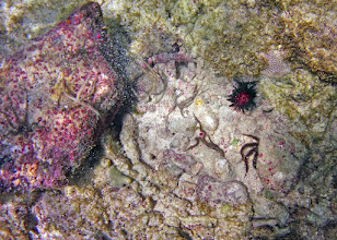 Photo: Rock overturned in Reef Flat Zone: brittle stars move quickly for cover. Sea urchin is Echinometra lacunter