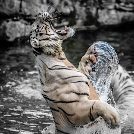White Tiger by Jijo George - Animals Lions, Tigers & Big Cats ( water, nature, tiger, jungle, action, white, wildlife, animal )