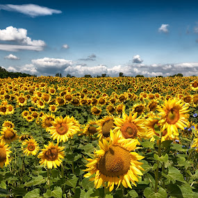 Sunflower Field  by Colin Dixon - Landscapes Prairies, Meadows & Fields ( field, sunflower oil, sunflower, planation )