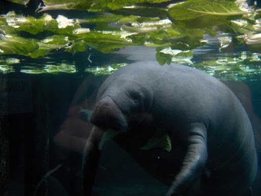 Baby Manatee Wallpaper Images