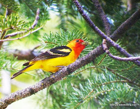 Photo: Profile of adult male Western Tanager carrying food for fledgling(s), Trout Creek Swamp, Sisters, OR
