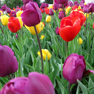 tulips large also.jpg