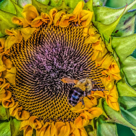 by Chris Cavallo - Flowers Single Flower ( bee, flying, yellow flower, yellow, details, sunflower,  )