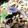 Violet Cortinarius